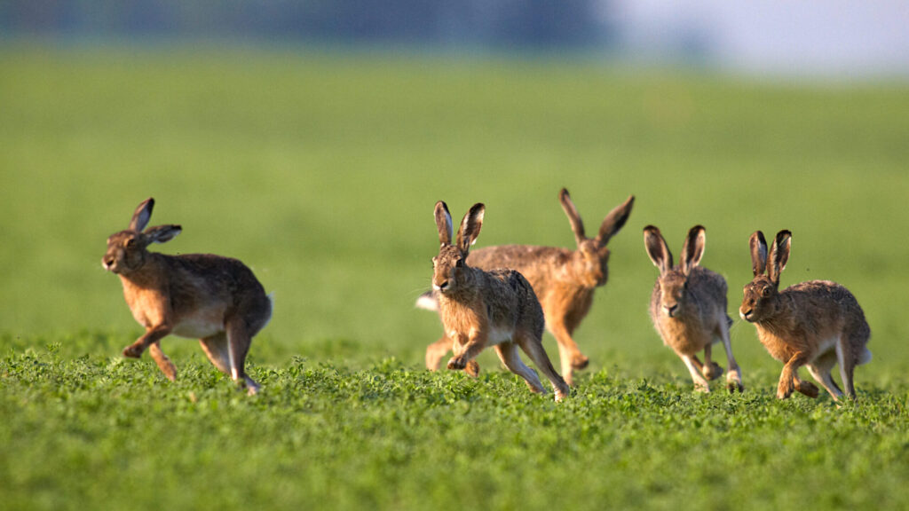 Hasen rennen übers Feld